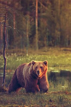 "explore-the-forest: "" robert-dcosta: "" Big B! Wildlife Photography, Animal Photography, Ours Grizzly, Grizzly Bears, Photo Ours, Urso Bear, Animals And Pets, Cute Animals, Wild Animals"