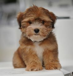 OMG! I want. Our Havanese « Willow Springs Havanese and Labradors