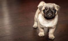 Pug the cute dog