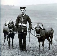 British; 2nd Battalion South Wales Borderers,Private Driscoll,with two regimental wildebeest at Aldershot in 1907. The wildebeests were brought back from South Africa in 1903 Gallery.
