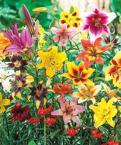 All-Summer Lily Bulb - Set of 10 by Spring Hill Nursery #zulily #zulilyfinds