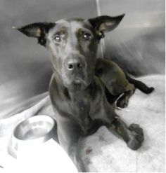 SUPER URGENT 9/28/13 Manhattan Center  BECKY - A0980390  FEMALE, BLACK, LABRADOR RETR MIX, 8 y Fell out of a bldg and owners can;t afford vet bills  Her owner's surrender notes indicate that she has lived with children, other dogs and cats. She is friendly with strangers and she loves to sleep in bed with other people. Becky's situation is heartbreaking and urgent..please share her for a foster/adopter and rescue. She needs to get out of there ASAP :(