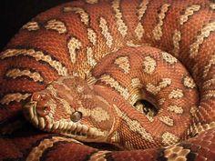 Bredl's Python Snake