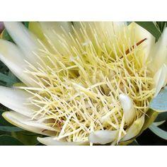 Protea King Protea, Pink Roses, Nature Photography, Bloom, Australia, Garden, Flowers, Beauty, Garten