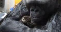 Video: giant gorilla toys around with two tiny kittens