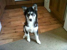 Okami (pup) gender: Male breed: Siberian husky border collie mix