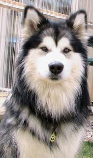 Alaskan Malamute  ~reminds me of a dog we use to have named 'babygirl'.