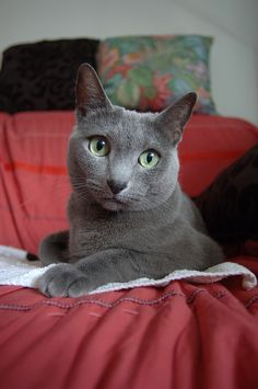 Top 5 Healthiest Cat Breeds Breed – Russian Blue : Known for its beautiful blue coat, the Russian Blue is a naturally created br. Grey Cats, Blue Cats, Animals And Pets, Baby Animals, Cat Anatomy, Anatomy Models, Beautiful Kittens, Cat Pose, Russian Blue