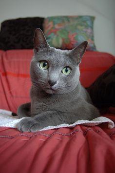 Angara - Russian Blue Cat