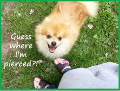 Guess where I'm pierced? FluffyButts funny dog meme