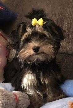 Shih Tzu Puppy, Havanese, Puppies, Dogs, Animals, Black, Baby Shih Tzu, Cubs, Animales