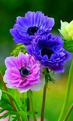 Solve Amazing Anemone Series jigsaw puzzle online with 54 pieces Flowers Nature, Exotic Flowers, Amazing Flowers, Beautiful Roses, Colorful Flowers, Purple Flowers, Beautiful Gardens, Wild Flowers, Beautiful Flowers