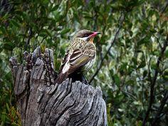 Alice Springs, Australia 2011 by Ashley J. Palmer, via Flickr Alice Springs, Australia, Bird, Birds