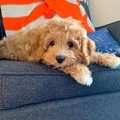 Cavapoo: What To Know About This Stunning Family Dog Cavapoo Breeders, Cavapoo Puppies, Cute Puppies, Cute Dogs, Small Dog Breeds, Small Breed, Small Dogs, Teddy Bear Dog, Animals