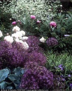 Crambe cordifolia, paeonies, Allium cristophii, Tradescantia Isis and Hosta sieboldiana
