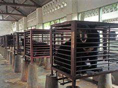 """More than 10,000 bears are kept on bile farms in China, and around 2,400 suffer the same fate in Vietnam. The bears are """"milked"""" regularly for their bile using painful, invasive techniques, all of which cause massive infection in the bears. Please sign to stop this."""