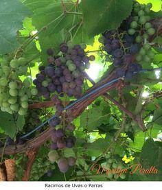 La uva o parra, cuyo nombre científico es Vitis vinifera. En la Región Sur de la República Dominicana se cultivan variedades de uvas para mesa y para la producción de vinos. Estas uvas de las fotos son muy dulces.