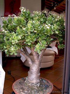 Jade Plant Bonsai, Succulent Bonsai, Propagating Succulents, Jade Plants, Exotic Plants, Cacti And Succulents, Planting Succulents, Cactus Plants, Planting Flowers