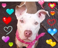 Manhattan Center SPAGHETTI – A1046174 **DOH HOLD 07/31/15** FEMALE, TAN / WHITE, AM PIT BULL TER MIX, 1 yr, 1 mo STRAY – ONHOLDHERE, HOLD FOR DOH-NHB Reason STRAY Intake condition UNSPECIFIE Intake Date 07/31/2015 http://nycdogs.urgentpodr.org/spaghetti-a1046174/