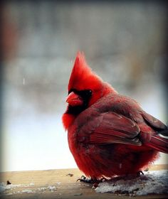 The Cardinal BY HENRY CARLILE . Not to conform to any other color is the secret of being colorful. He shocks us when he flies like a red verb over the snow. He sifts through the blue evenings to. Pretty Birds, Love Birds, Beautiful Birds, Animals Beautiful, Cute Animals, Small Birds, Cardinal Birds, All Gods Creatures, Colorful Birds