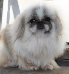 Pekingese - ball of fluff, who knew they could run so fast??