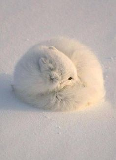 Arctic Fox curled in a tight ball