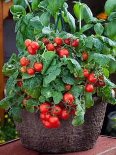An ornamental cherry tomato for baskets and pots! High yields of red fruits on this well-branched, charming little open-pollinated variety, a true dwarf with a bushy, semi-weeping habit. Order your Red Robin Tomato seeds from Park today!