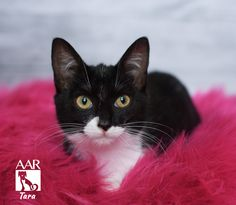 "Tara's foster mom calls her a ""purr baby"" because she will start purring the second you pick her up. She is a sweet, slightly shy five month old kitty who is looking for a forever home. She is at Abandoned Animal Rescue in Tomball, TX"