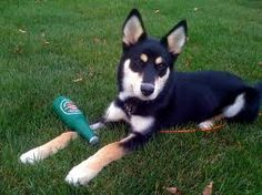 Husky & Shepherd Mix