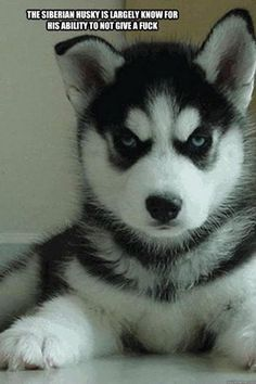 the Siberian husky is known for...