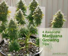 Useful marijuana growing tips for newbies and experienced growers as well. Including Low Stress Training, Topping and FIMing your marijuana plant. Weed Plants, Marijuana Plants, Cannabis Plant, Cannabis Oil, Growing Marijuana Indoor, Growing Weed, Cannabis Growing, Growing Plants, Gardening