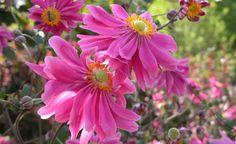 Im August und September präsentiert die Herbst-Anemone 'Bressingham Glow' (Anemone japonica) ihre eleganten, rosafarbenen Schalenblüten