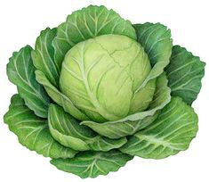 Watercolor illustration of a head of cabbage with leaves. Vegetable Illustration, Botanical Illustration, Watercolor Illustration, Pumpkin Risotto, Butternut Squash Soup, Beautiful Fruits, Stock Art, Cabbage Patch, Fruits And Vegetables