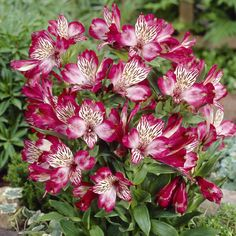 Alstroemeria, also known as the Peruvian Lily. Beautiful, bright touch for a Springtime bouquet. Would love to see this flower in more weddings!