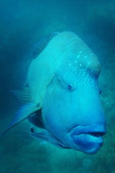 Blue Pearl Bay, Priscilla the Maori Wrasse. http://www.thewanderinglens.com/location-scout-the-whitsunday-islands/