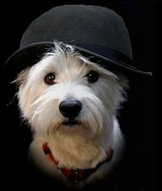 Westie.....lovely♥