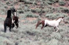 young Lt. stallion, bay pinto, spars with bay while the Band Stallion gets a break from protecting the herd from the challenger.