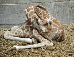 Early in the morning on August 21, a baby Rothschild's Giraffe was born at New Zealand's Auckland Zoo! The male calf was born to mother Kiraka and father Zabulu.  This is the second calf for Kiraka and the first male calf to be born at the zoo since 2010.