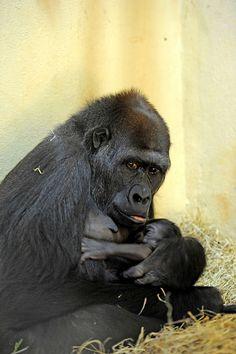 Filhote de gorila do Zoológico é macho