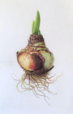 Ferrarri amaryllis bulb