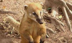Ostronos rudy / South American Coati