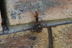 Wasp v.s. Spider