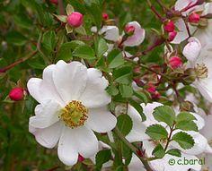 Rosa 'Lac Blanc' et d'autres images sur Démons et Merveilles