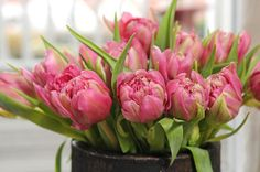 Tulipa 'Double Price',Tulip 'Double Price', Double Early Tulip 'Double Price', Double Early Tulips, Spring Bulbs, Spring Flowers, Purple Tulip