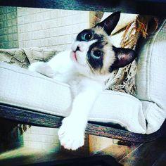 Mi gata una muñeca! #gato #snowshoecat #gatto #cats #catsofinstagram #gatosdeinstagram #sweethome #animales #minino #gattidiinsta #gattidiinstagram #gatos #instagood #instafoto #momento #moment #instamoment #instagram #instapic #instaphoto #relaxing #relax #house by questo_uomo_insopportabile