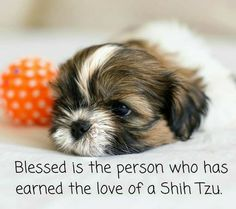 """""""Blessed is the person who has earned the love of a Shih Tzu!"""""""