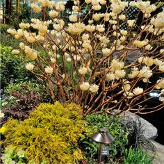 I caught a glimpse of this Edgeworthia or Paper bush, a timid looking shrub of moderate size covered in tight clusters of yellow pom-pom like flowers.