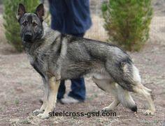 (Stock Coat) German Shepherd Dog | Steel Cross German Shepherd Dogs
