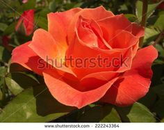 Find Orange Rose stock images in HD and millions of other royalty-free stock photos, illustrations and vectors in the Shutterstock collection. Thousands of new, high-quality pictures added every day. Orange Roses, Photo Editing, Royalty Free Stock Photos, Illustration, Flowers, Plants, October, Pictures, Image