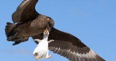 The tiny Gentoo chick was surrounded by adults in the Falklands when a Falkland Skua swooped in to make a grab for it